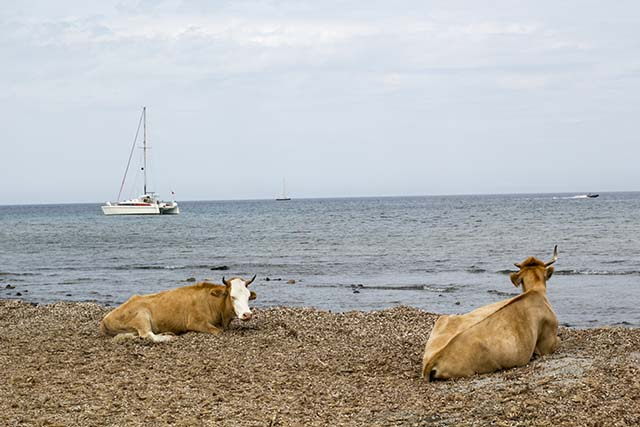 Island cows on Barcaggio Beach, Corsica | Like Fresh Laundry